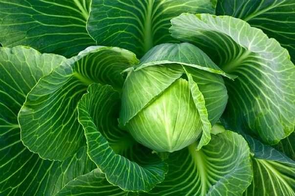 cabbage-en