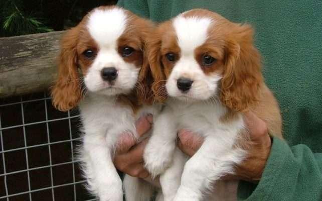 puppy-en