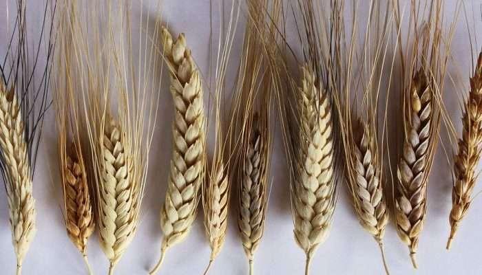wheat- En
