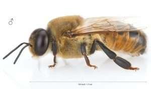 Honey-Bee-Drone