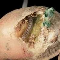 cutworm hn