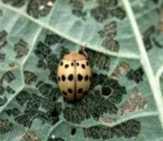 epilanchna beetle p