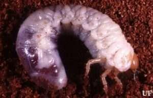 white grub p