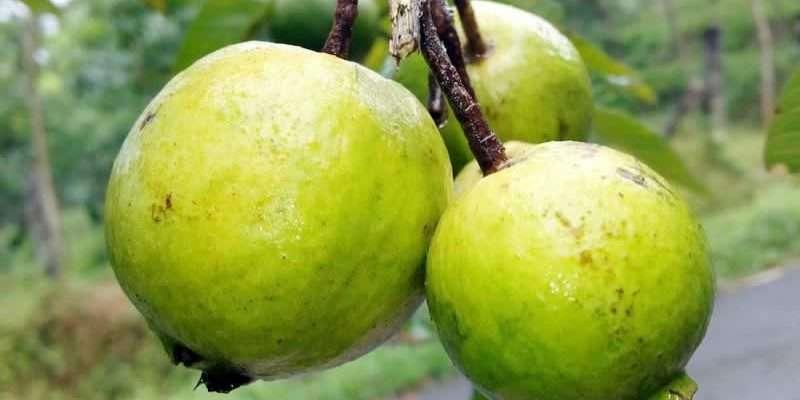 guava enn