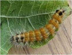 hairy caterpillar en