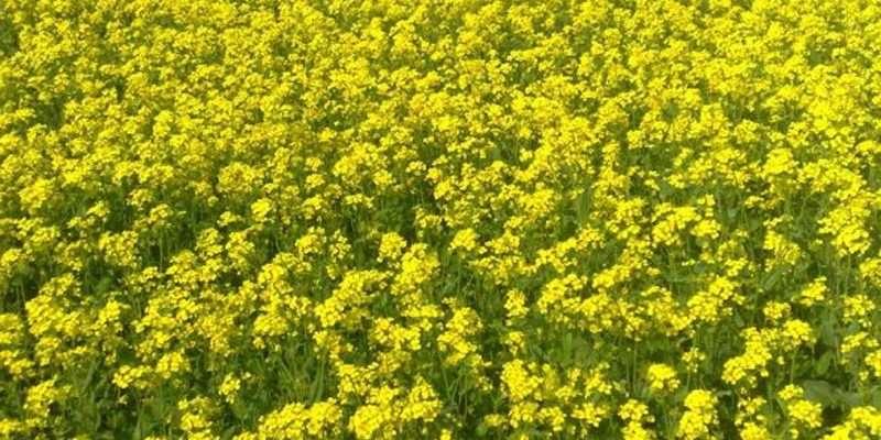mustard en