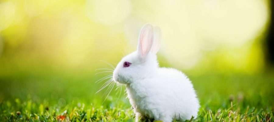 rabbit en img