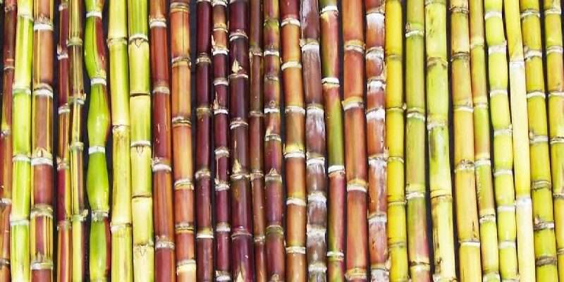 Sugar-cane 1