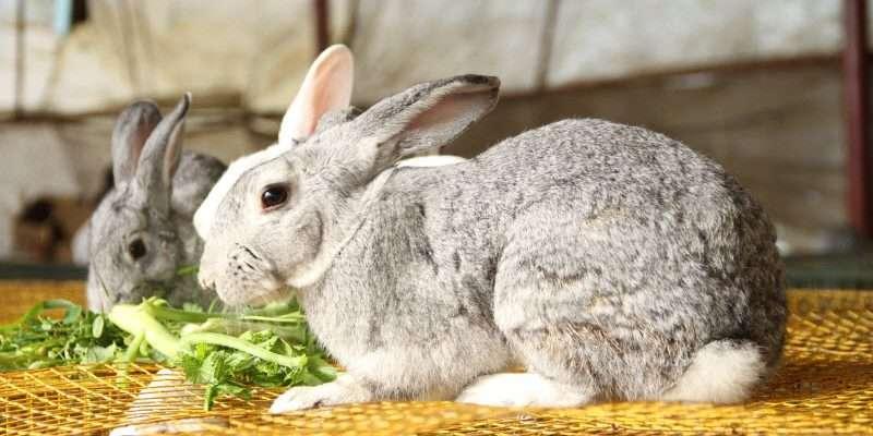 rabbit eng
