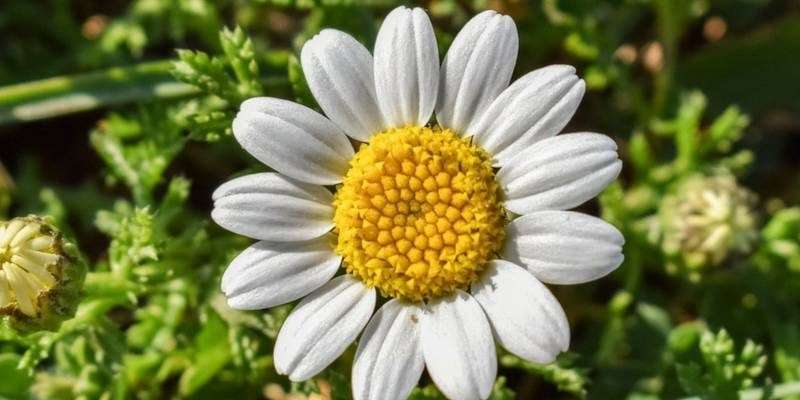 benefits of Chamomile Flowers