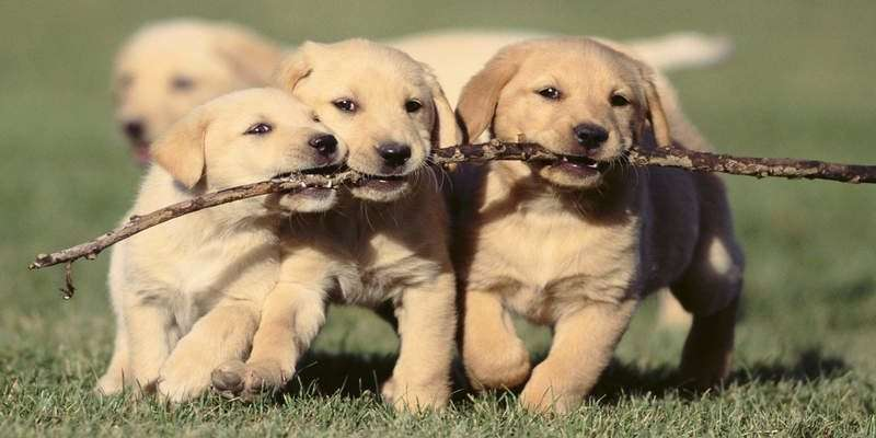 Puppies Fighting for a Stick