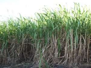 sugarcane_field_reunion