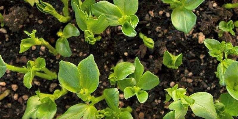 green organic manure