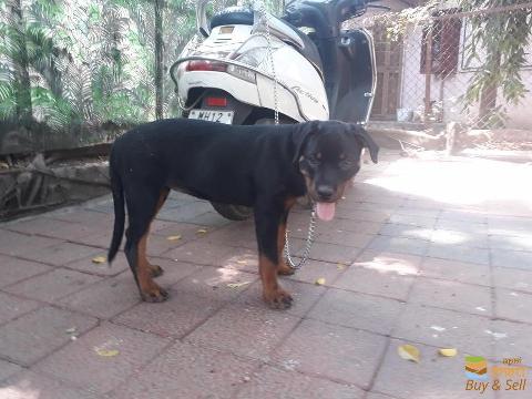 3 months Rottweiler female puppy