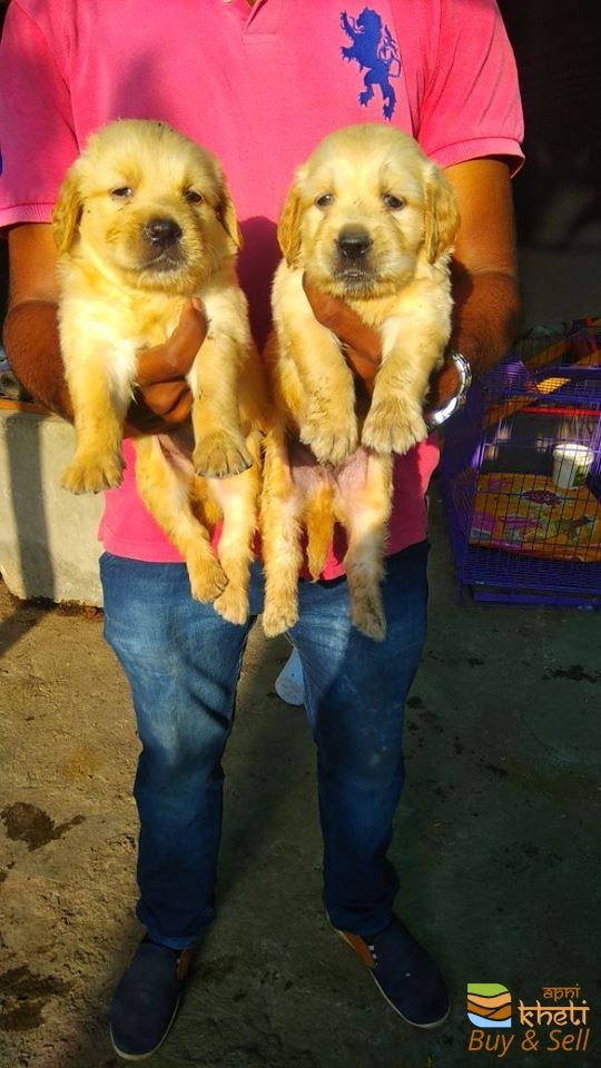 Golden retriver puppy avlible