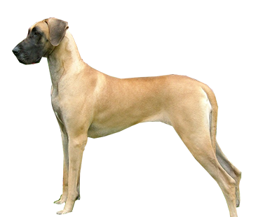 great-dane-(male).png