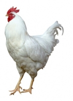 cornish-rock-chicken.jpg