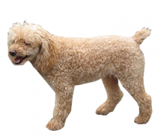 poodle-(male).png