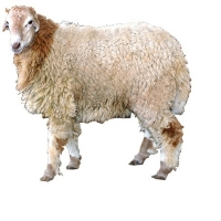 Malpura Sheep