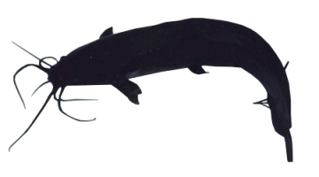 Magur Catfish Breed Care Tips