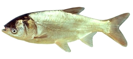 Silver Carp Fish Breed Care