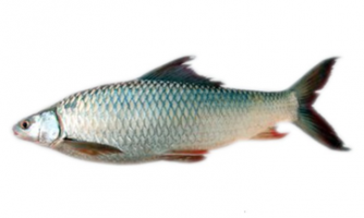 Mrigal Carp Fish Breeding