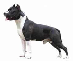 pit-bull-(male).png