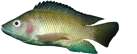 Tilapia Catfish Aquafarming