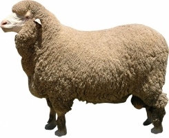 merino-sheep.jpg