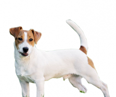 jack-rusell-terrier-(male).png