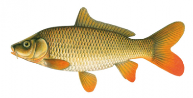 Common Carp Fish Information