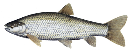 Grass Carp Fish Aquaculture