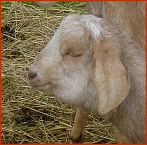 drink goat blood