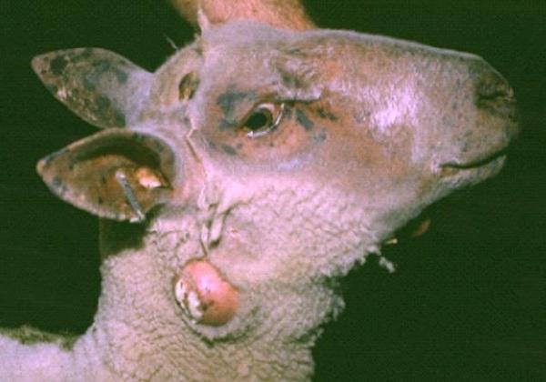 Magra Sheep Animal Husbandry Tips