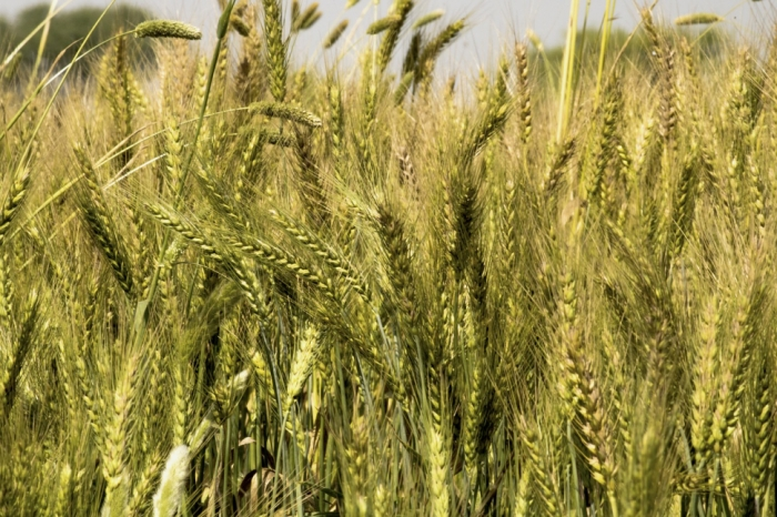 idea99wheat-5011263_1280-5ece16364b10a.jpg
