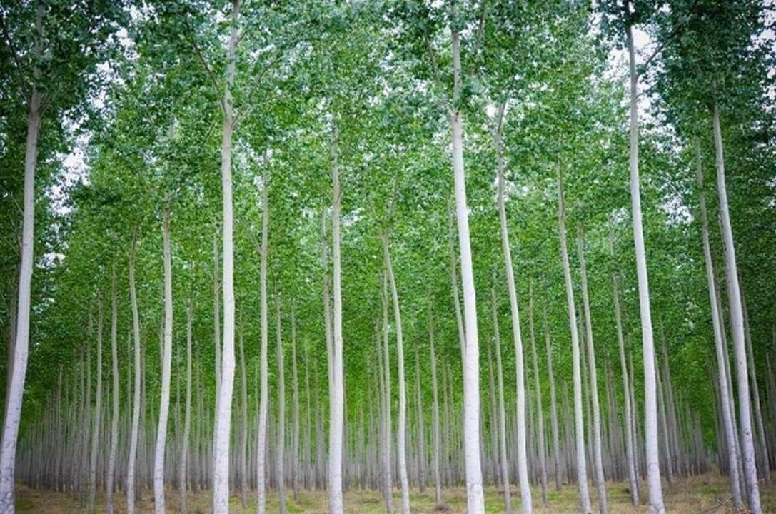 d29d9464553b4 Eucalyptus Crop Farming Guide | Apni Kheti