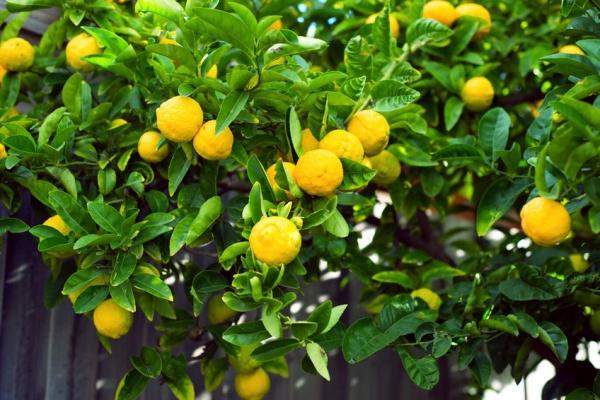 Lemon Crop Farming