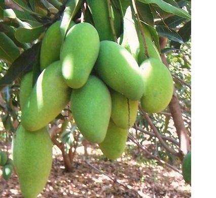 Mango Farming Information in Punjab | Apni Kheti