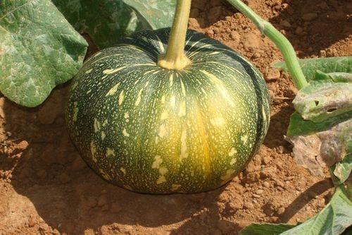 Pumpkin   Farming Guide   Apni Kheti