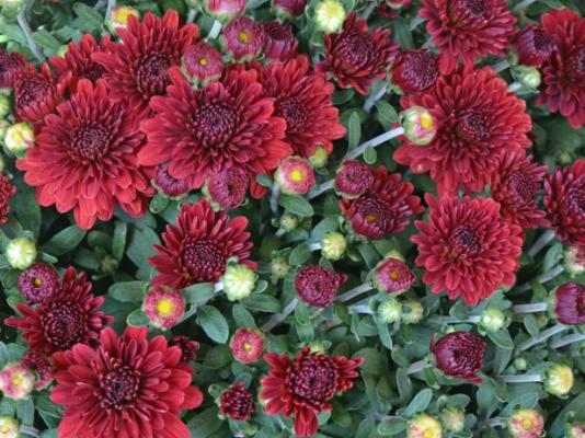 Chrysanthemum Farming Chrysanthemum Cultivation Apni Kheti