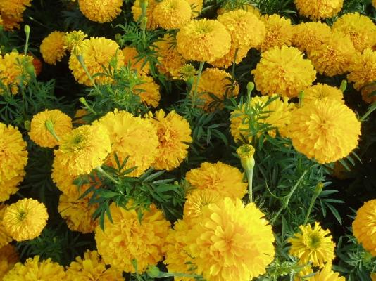 Marigold Farming   General Information   Apni Kheti