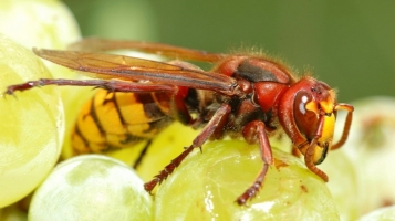 Yellow and red wasp