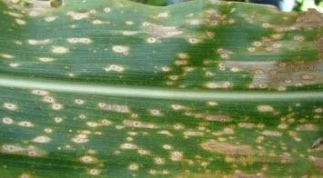 Maize Kharif | Kharif Maize Crop information