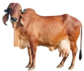 gir-female-cow-breed.jpg