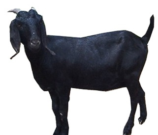 Black Bengal Goat Meat And Milk Production