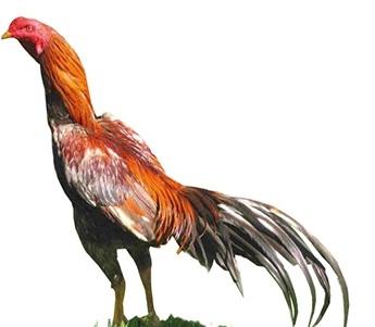 Aseel | Poultry Chicken | Apni Kheti