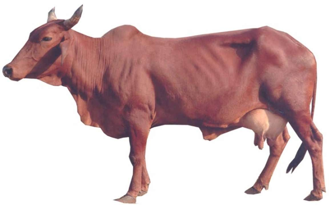 Red-sindhi-female-cow-breed.jpg