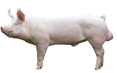 large-white-yorkshire-male-pig.jpg