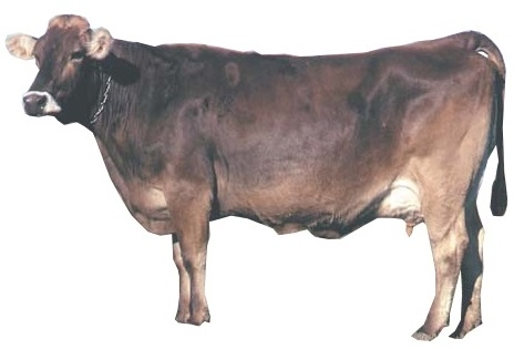 borwn-swiss-female-cow-breed.jpg