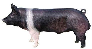 hampshire-male-pig.jpg